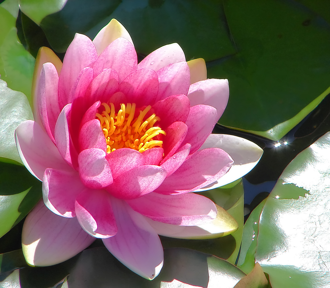 Wallpaper: Water lily wallpaper|wallpaper Water lily flower|Water lily ...