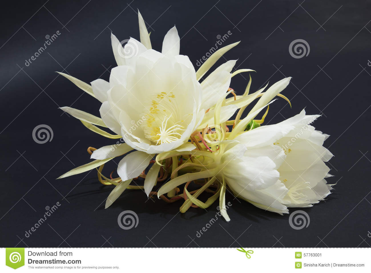Two Cactus Blossoms on Black Background, Shallow Depth of Field ...