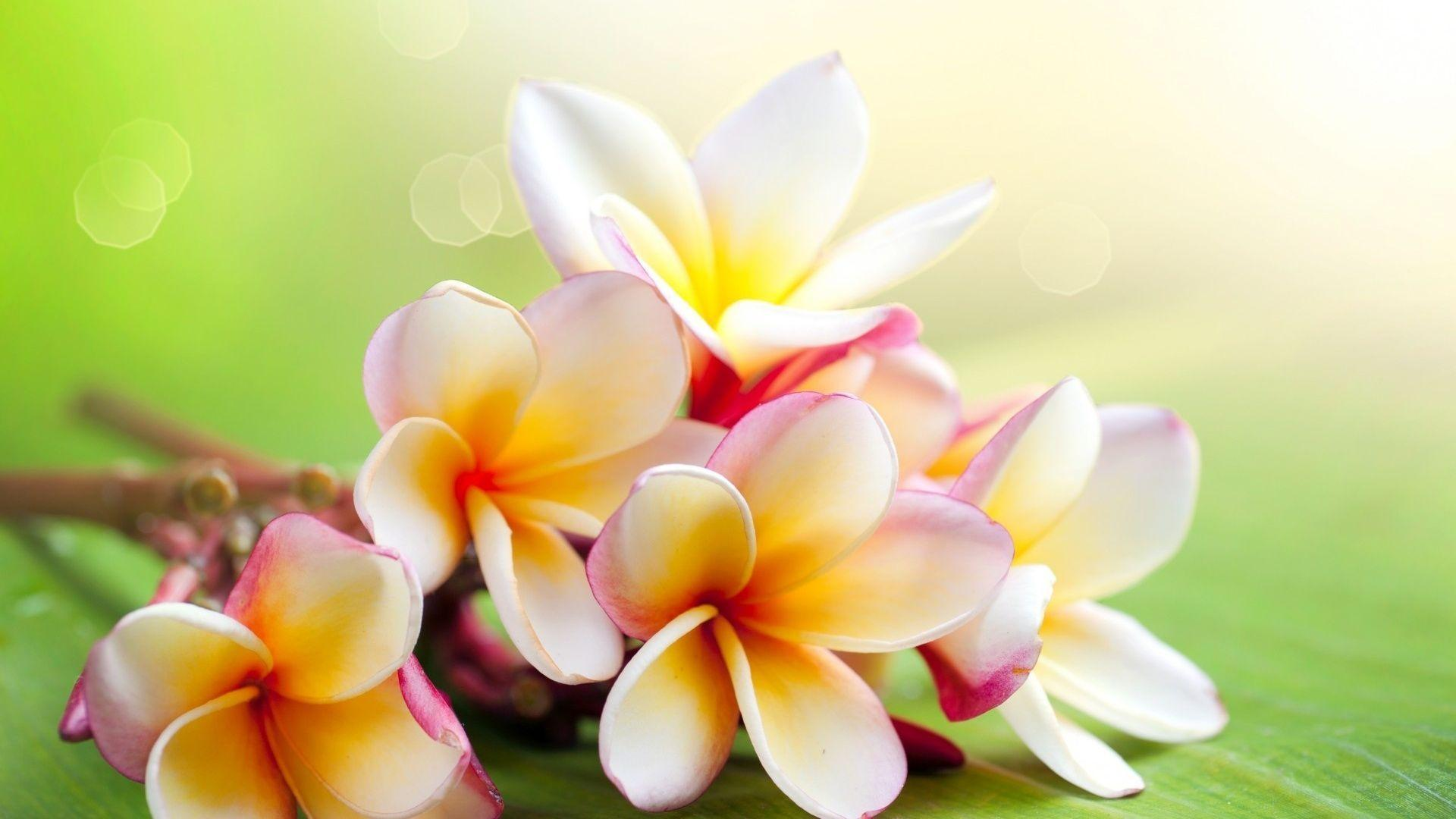 Jasmine Flower Wallpapers - Wallpaper Cave