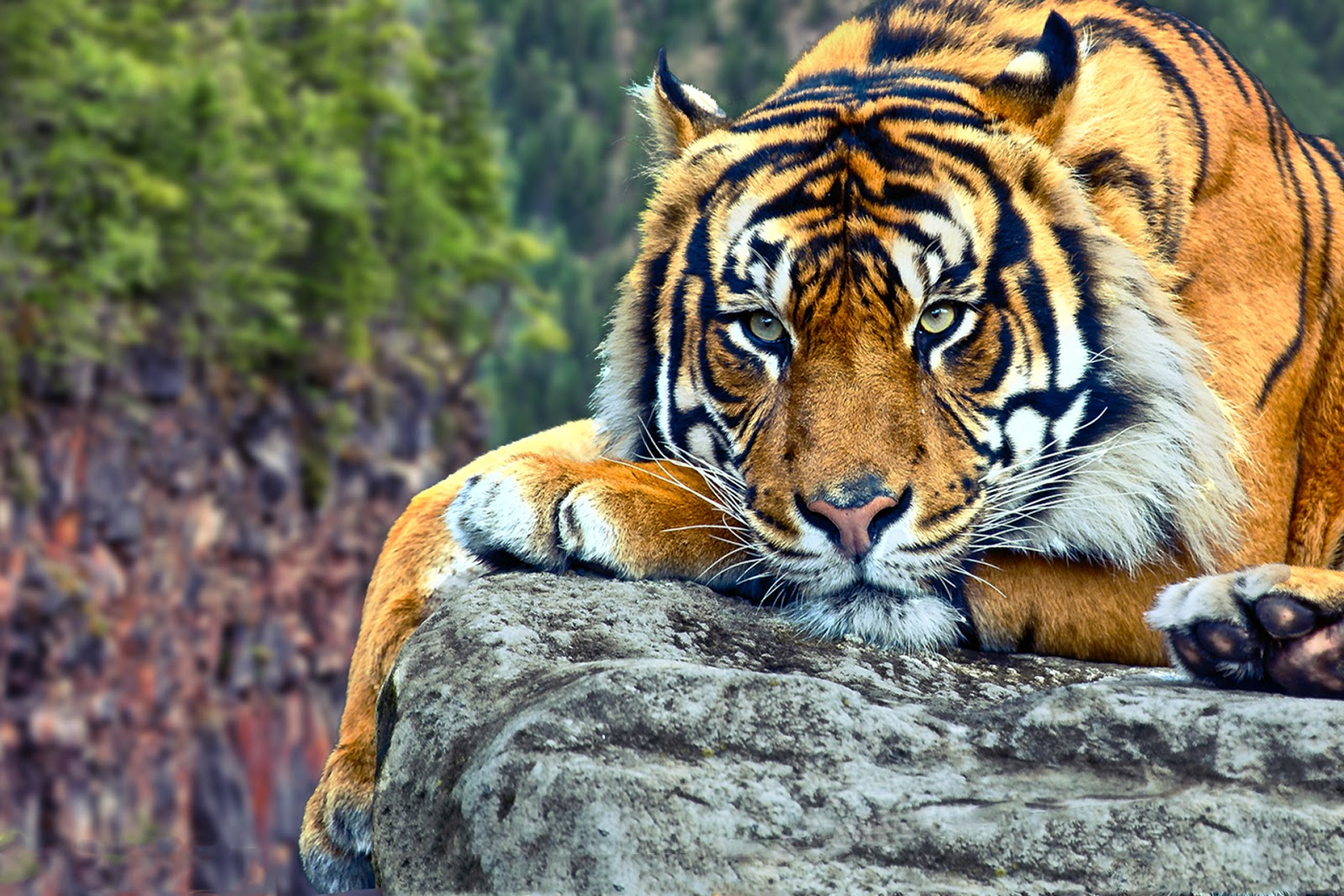 Best 32 Tiger Backgrounds For Computer On Hipwallpaper Computer Wallpaper Beautiful Computer Wallpaper And Cute Computer Wallpaper