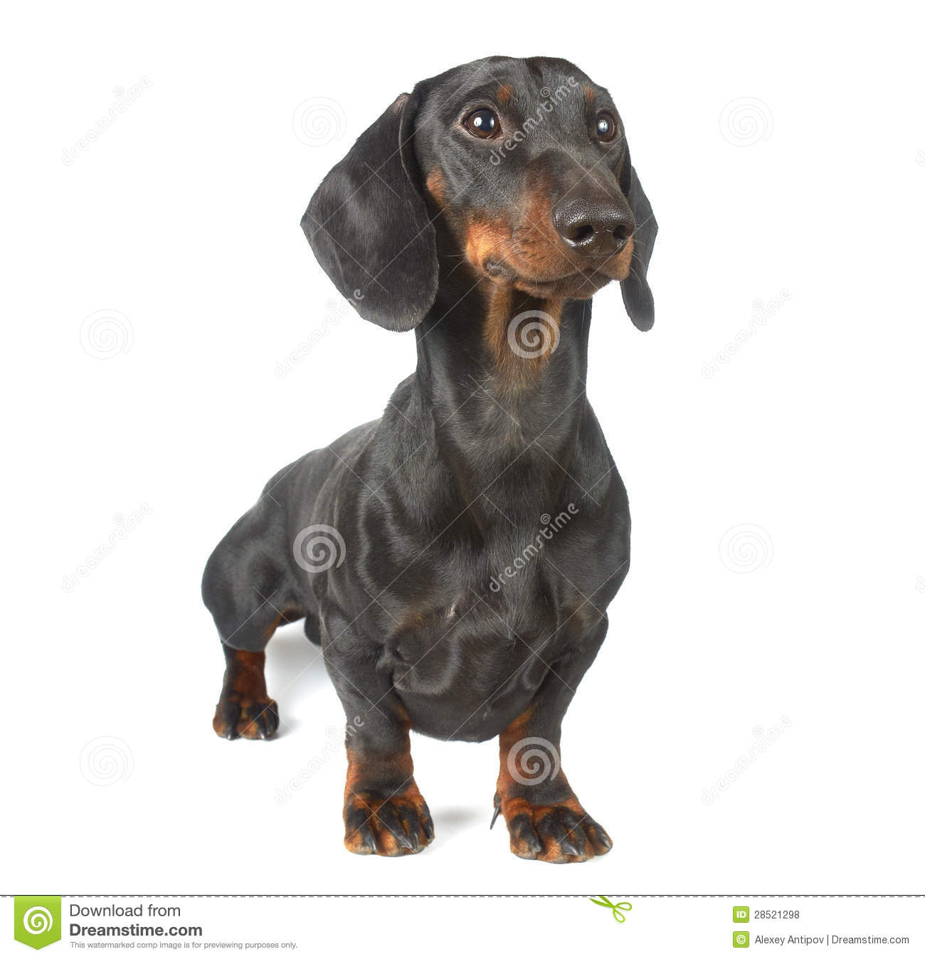 Young Black And Tan Dachshund Royalty Free Stock Photos - Image ...