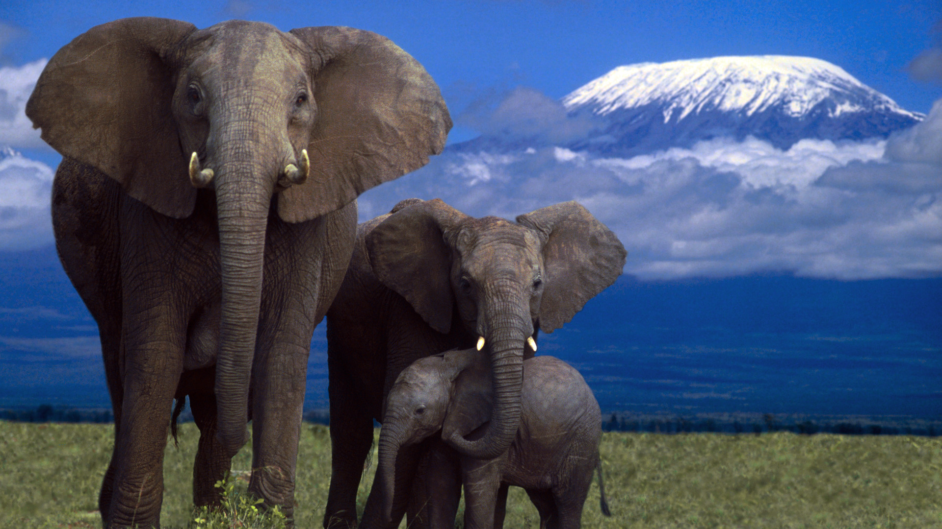 Wallpaper elephant, family, mountain, kilimanjaro, mount kilimanjaro ...