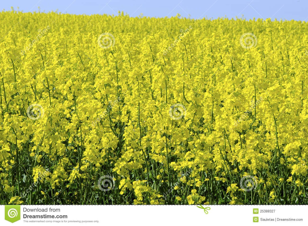 Background Of Vivid Agricultural Rapeseed Field Royalty Free Stock ...