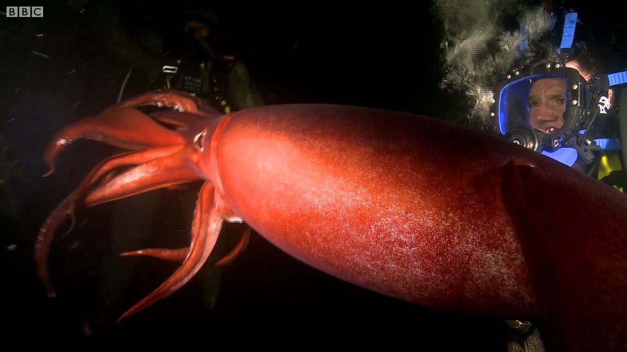 Swimming with a Humboldt Squid - Deadly 60 - Series 2 - BBC - YouTube