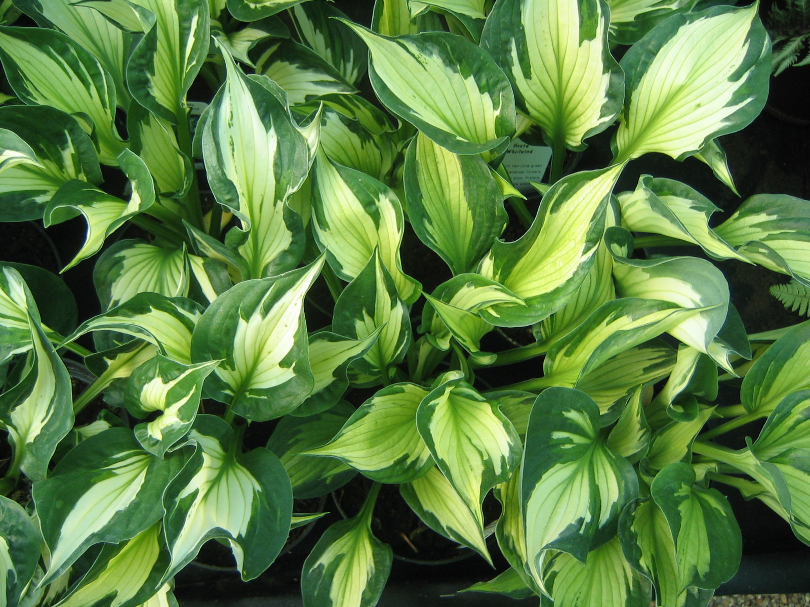 Hostas Pictures to pin on Pinterest
