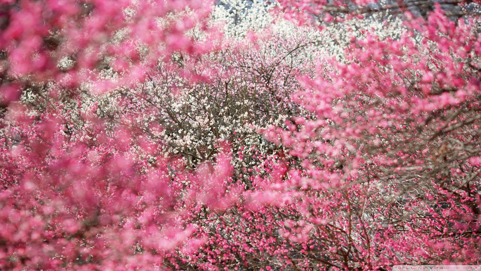 cherry wallpaper japan blossoms blossom images 1920x1080