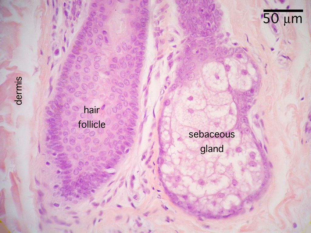 Skin Histology Pictures to pin on Pinterest