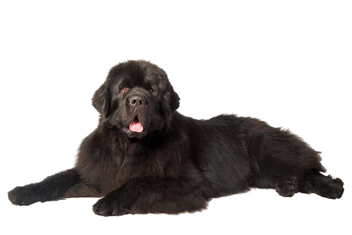 Newfoundland - Top 10 Dog Pictures