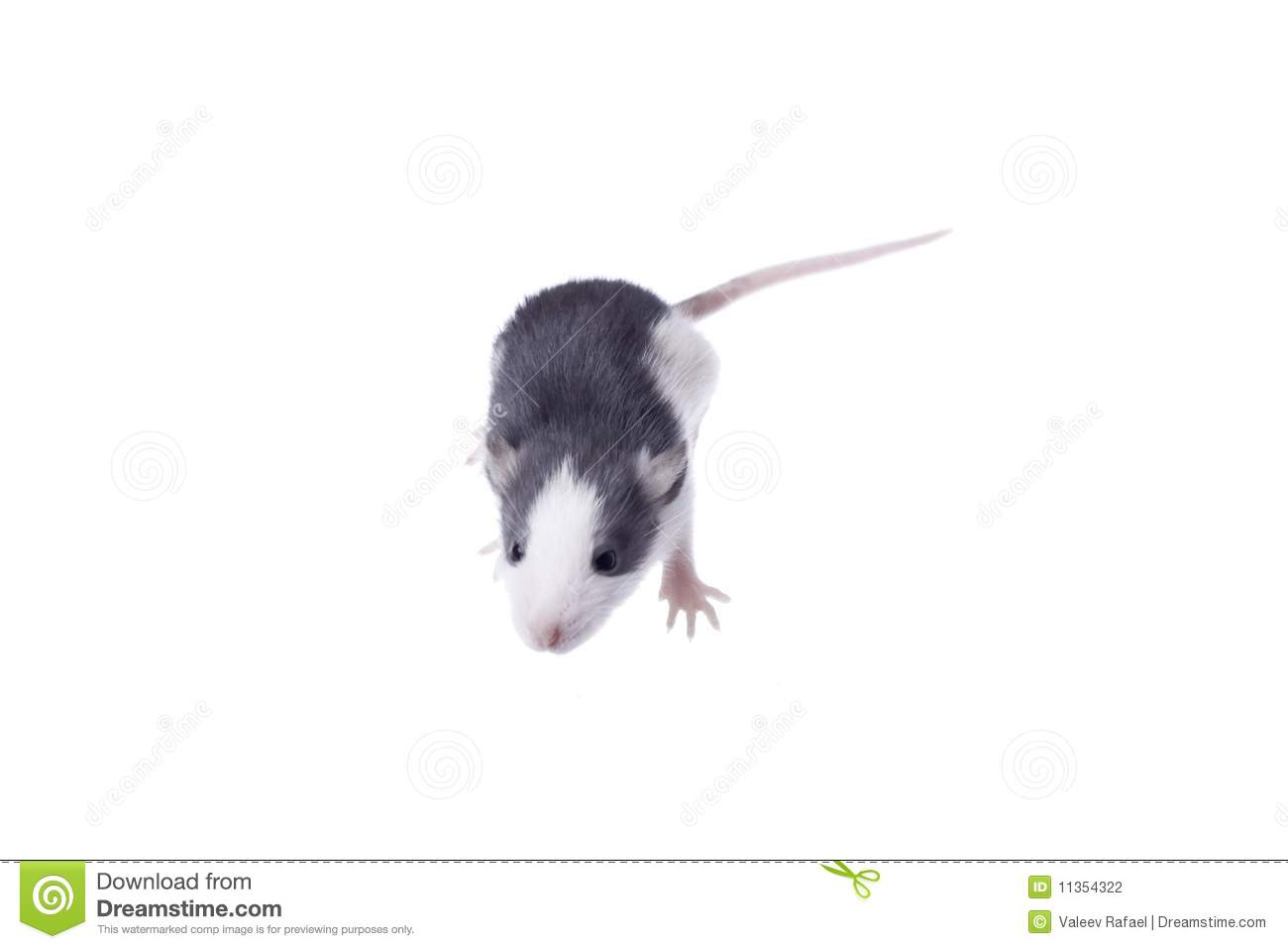 Rat Stock Photography - Image: 11354322