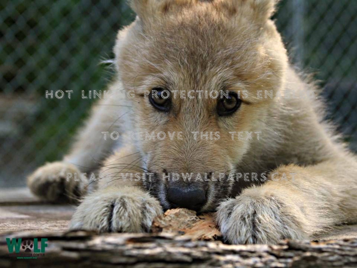 Wolf cub hairy one little young animals HD Wallpaper