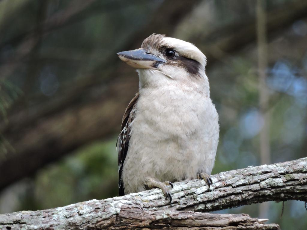 Laughing Kookaburra by AdNuminousNot on DeviantArt