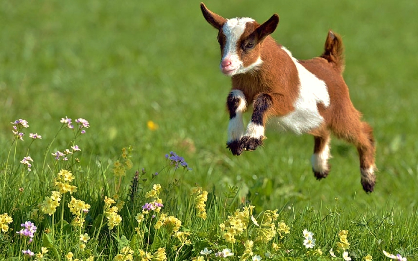 Baby Goats Wallpaper Baby Goats Wallpaper