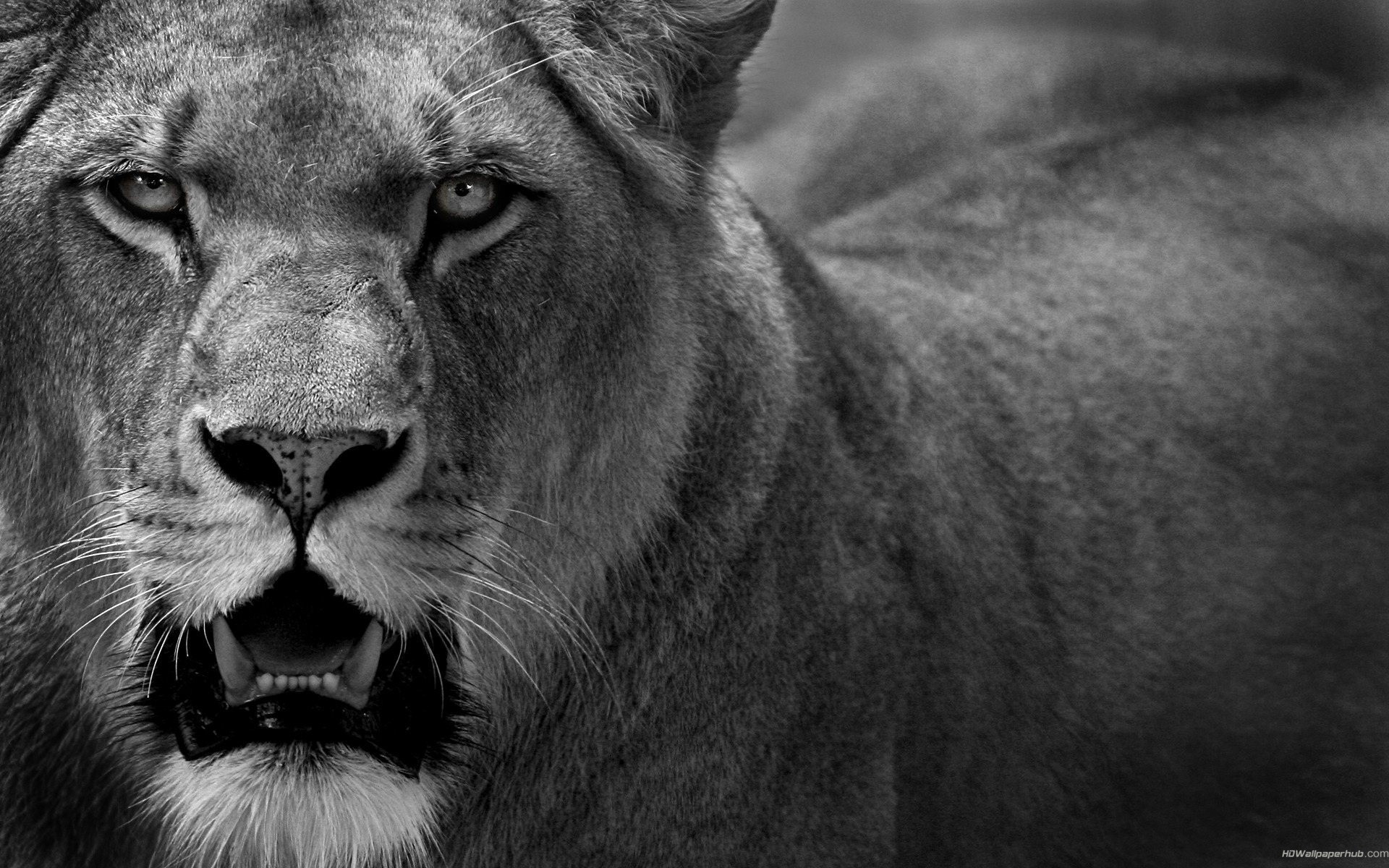 Angry Lion | HD Wallpapers