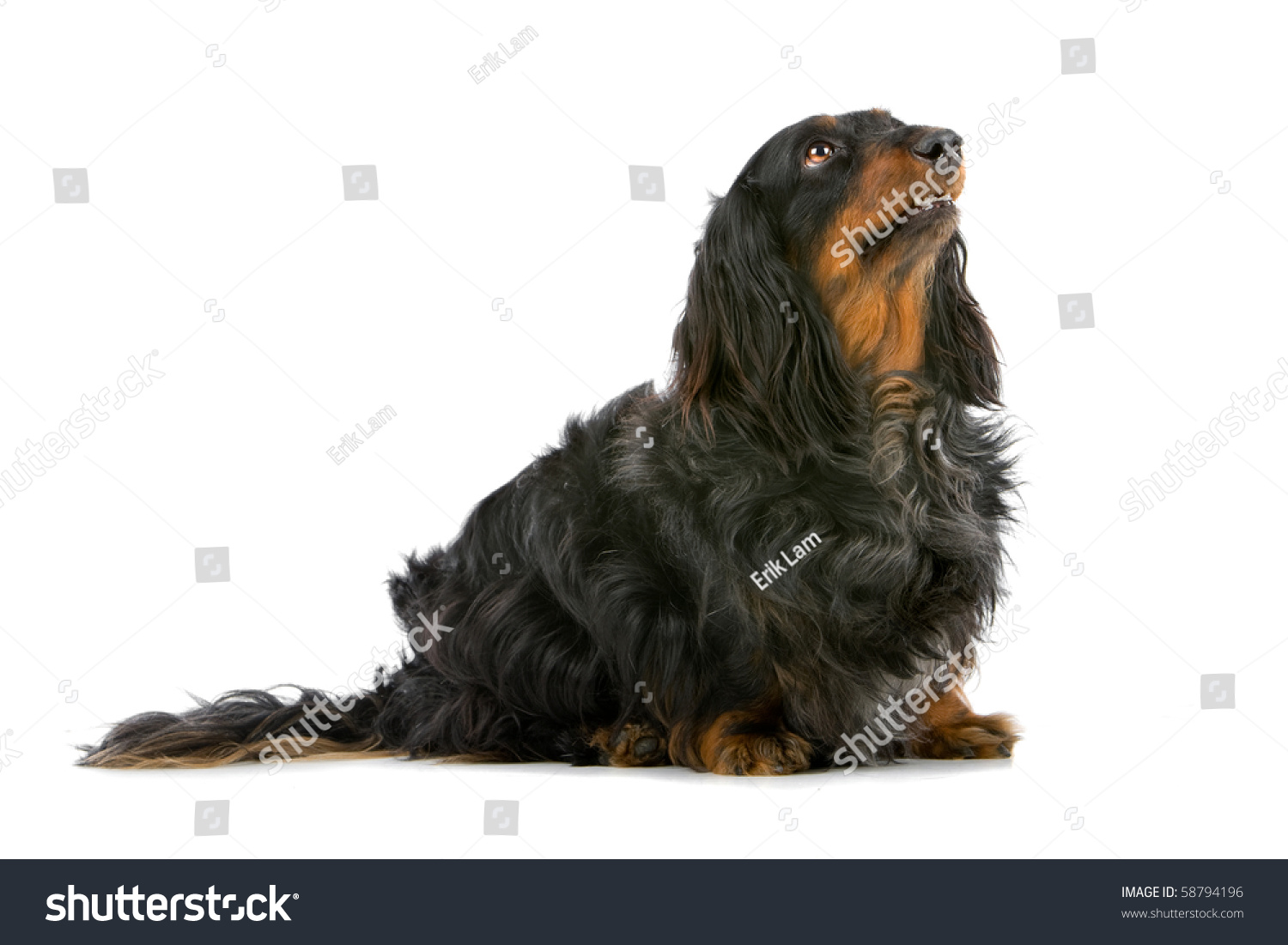 Old Long Haired Black And Tan Dachshund Isolated On A White Background ...