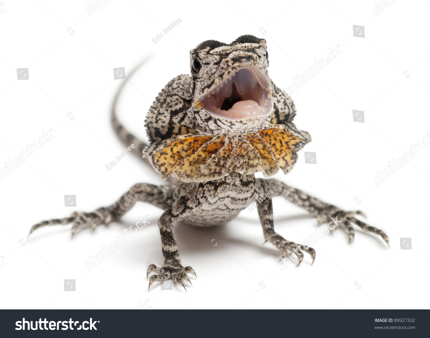 Frill-necked lizard also known as the frilled lizard, Chlamydosaurus ...