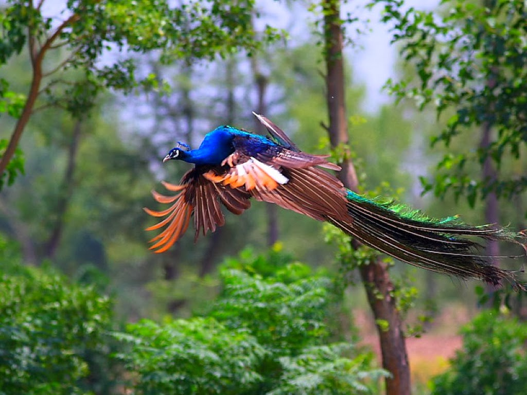 Flying Peacock HD Wallpaper - HD Wallpaper Pictures