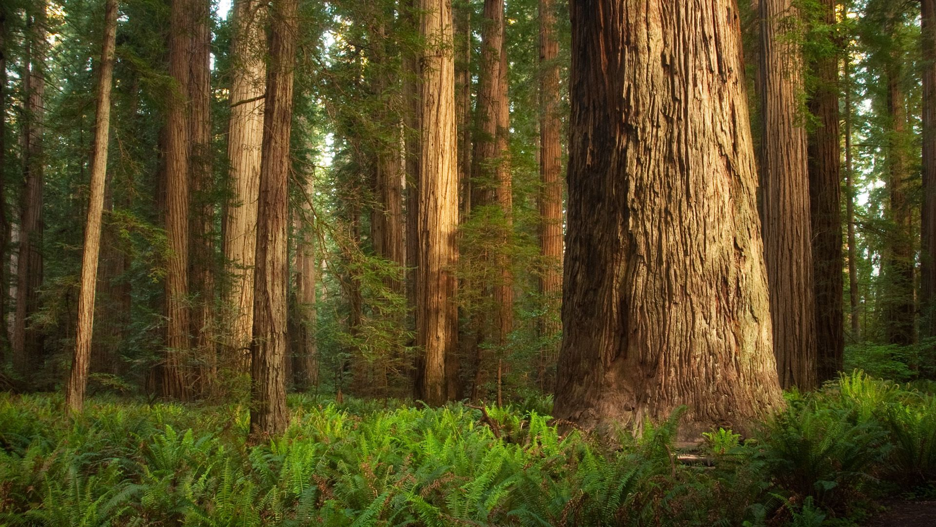 Redwood Forest Wallpaper Widescreen redwood forest wallpapers ...