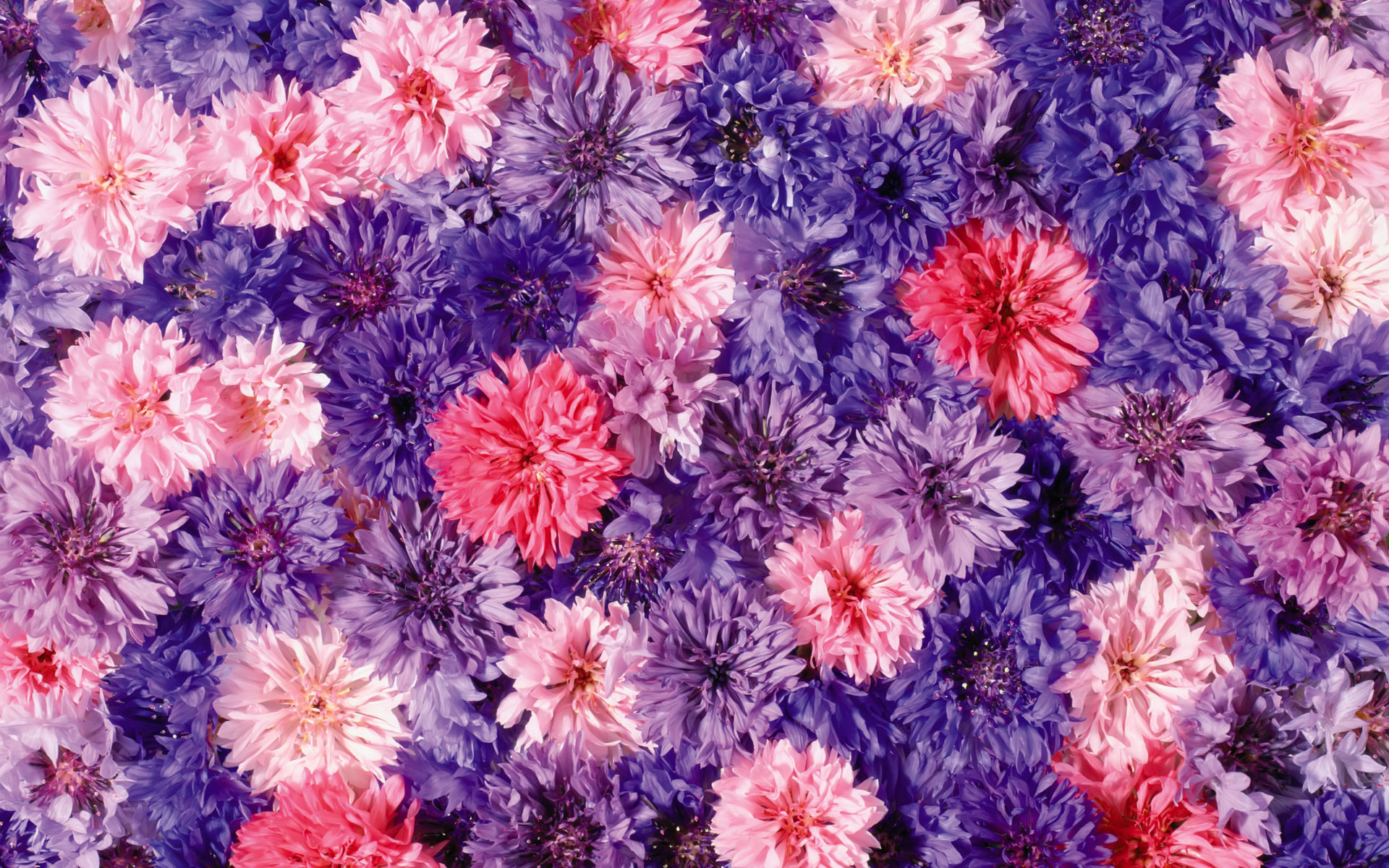 Chrysanthemums wallpaper - 589295