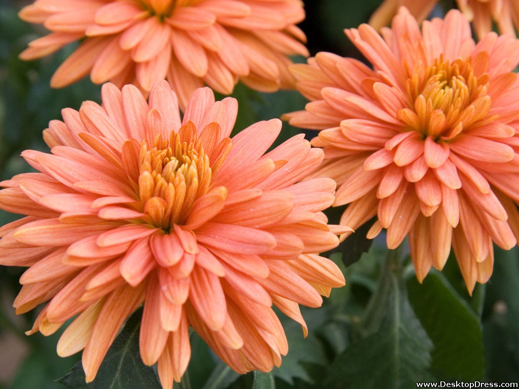 Desktop Wallpapers » Flowers Backgrounds » Orange Fuji Mum » www ...
