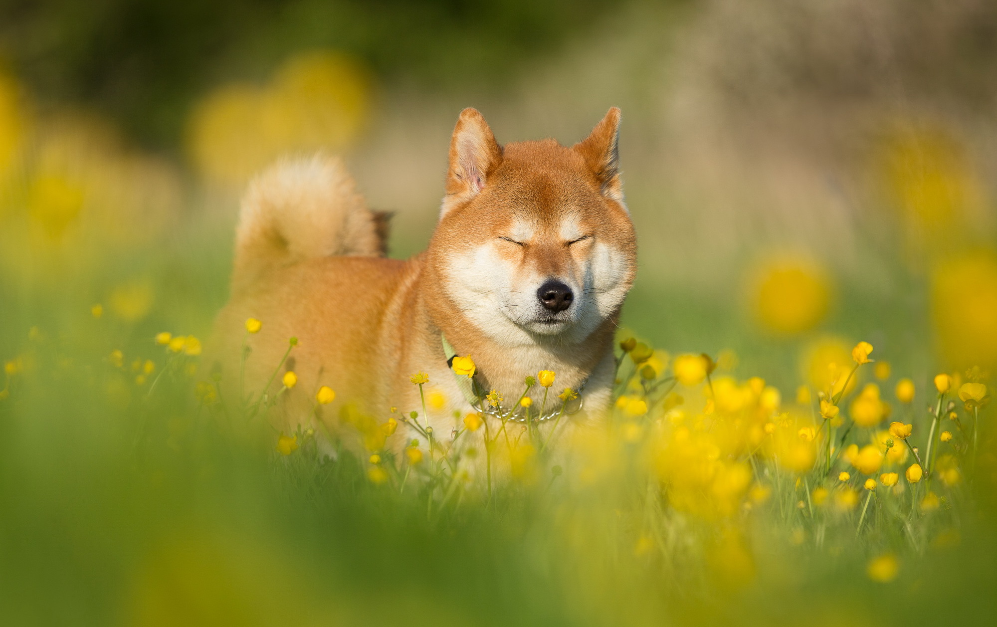 Shiba Inu Computer Wallpapers, Desktop Backgrounds | 1999x1257 | ID ...