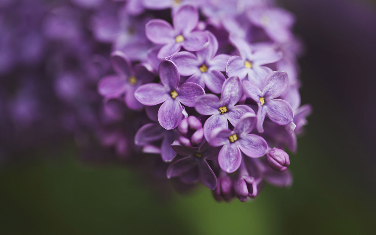Lilac Wallpaper Related Keywords & Suggestions - Lilac Wallpaper Long ...
