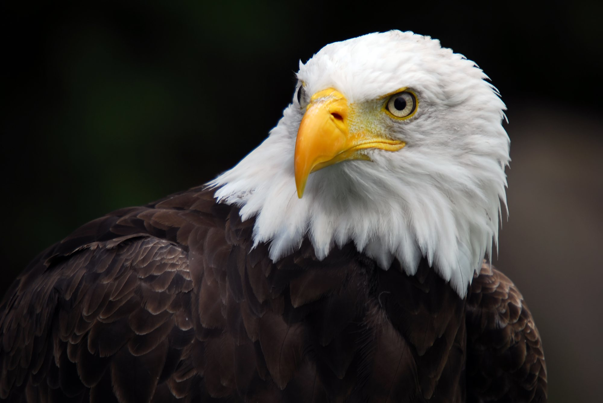 Eagle Wallpaper HD Images – One HD Wallpaper Pictures Backgrounds ...