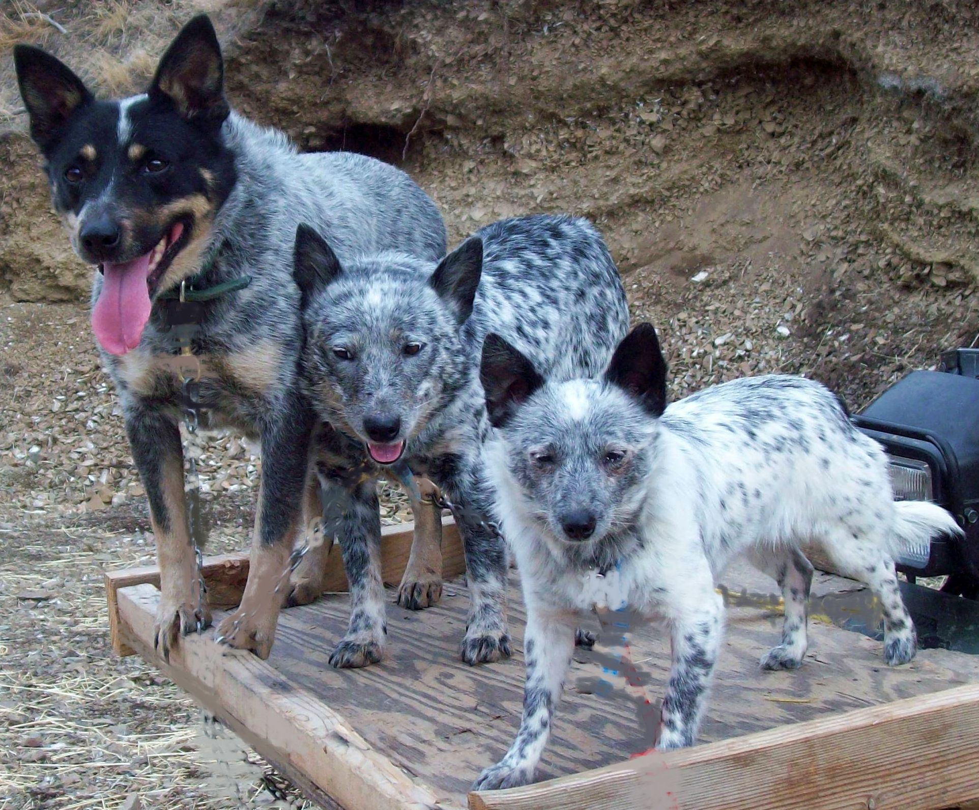 mini queensland heeler - Google Search | Australian Cattle Dogs ...