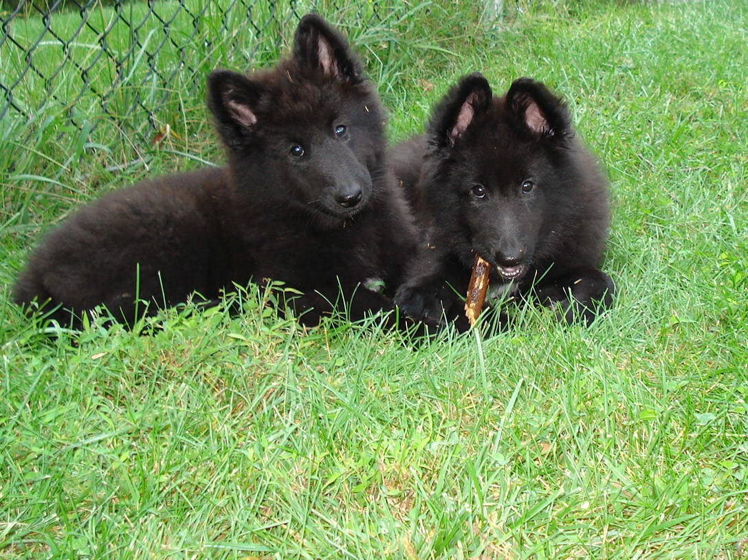 FAQ | Belgian Sheepdog Rescue Trust