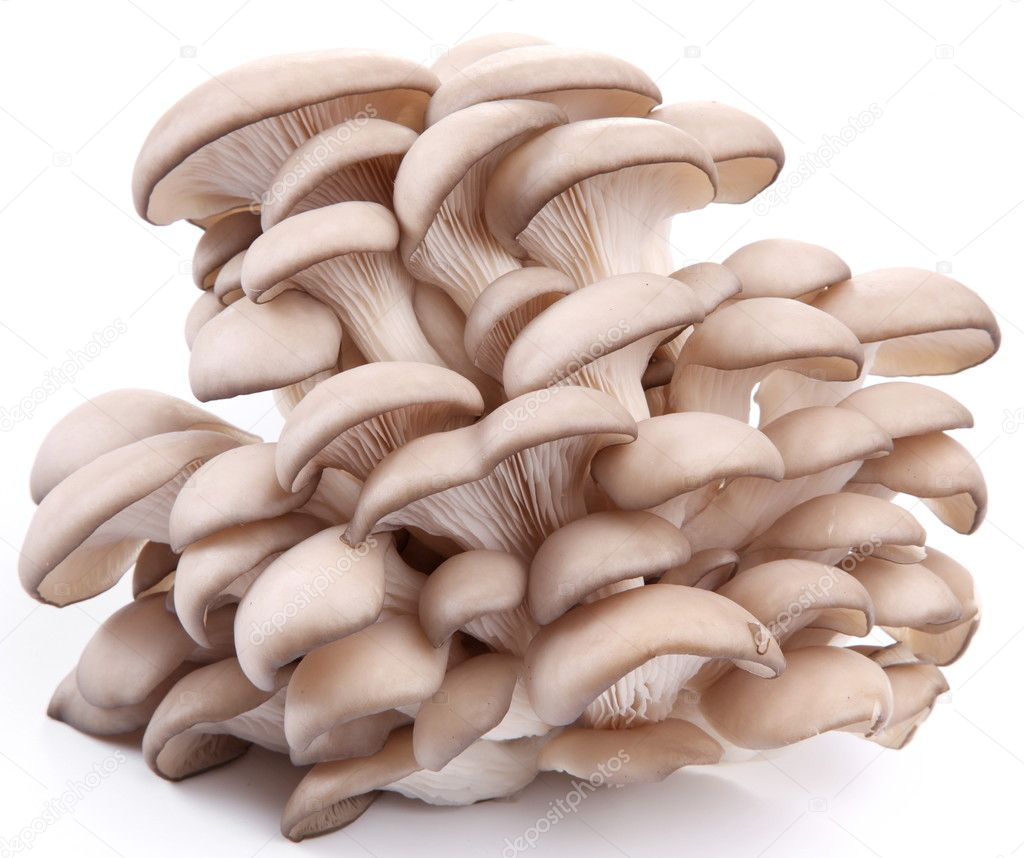 Oyster mushrooms on a white background — Stock Photo © Valentyn ...