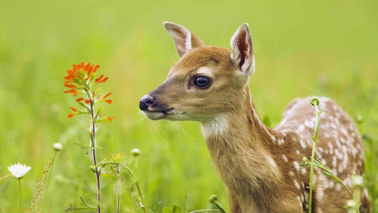The Private Life of Deer - Amazing Nature Documentary (HD) - YouTube