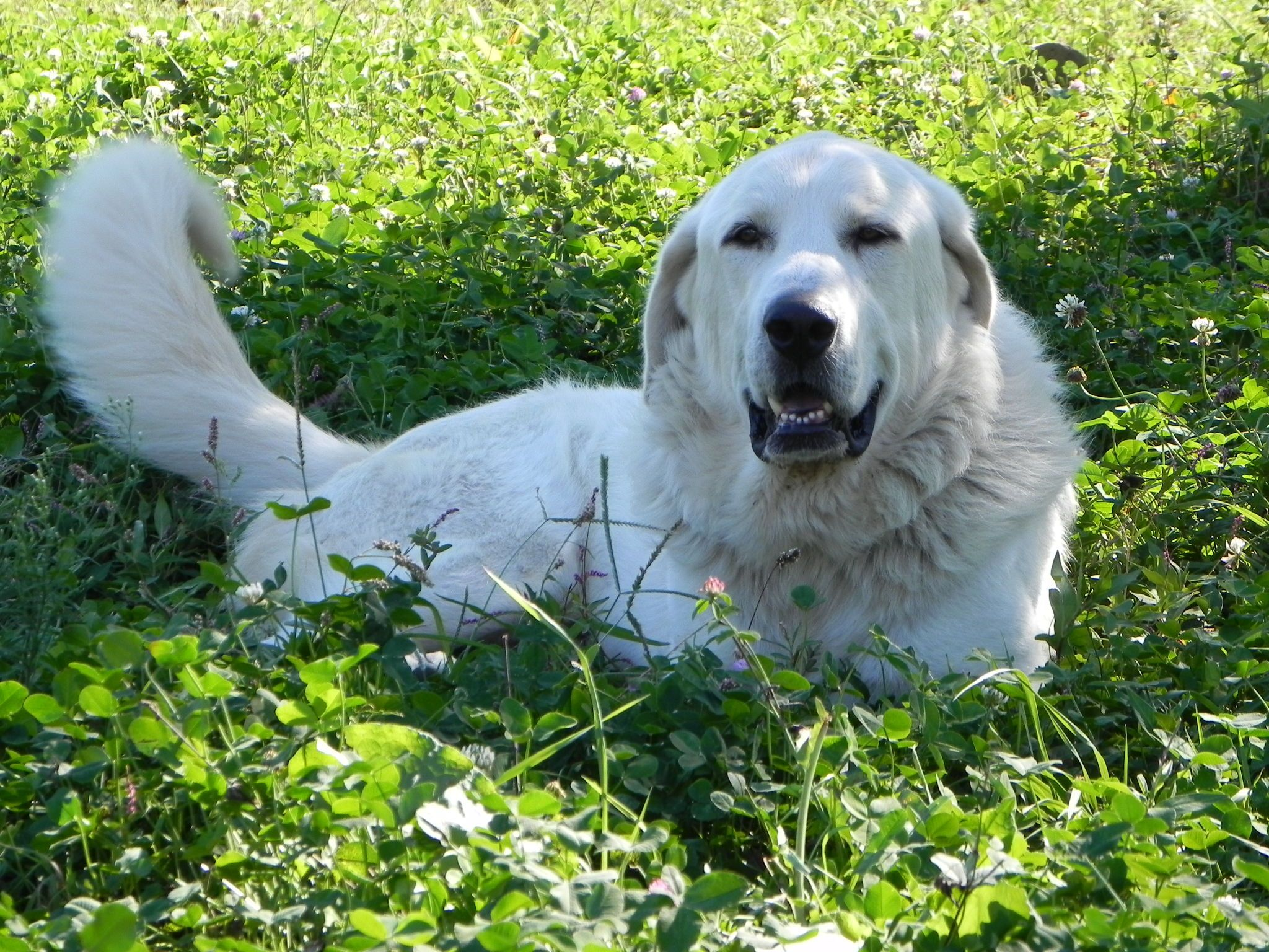 Great Pyrenees Wallpapers, 44 Great Pyrenees Images and Wallpapers for ...
