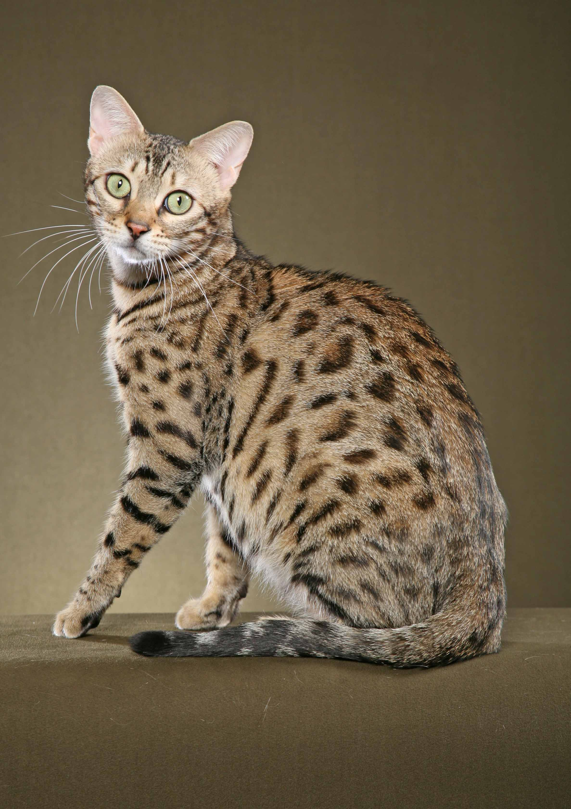 Pics Photos - Domestic Bengal Cats Wallpaper