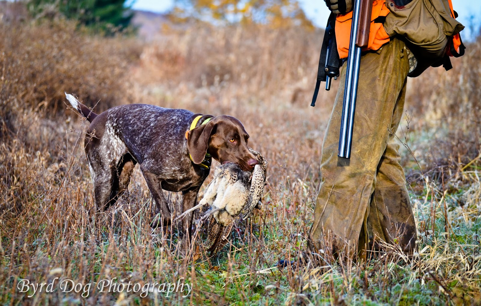 Pheasant Hunting Dogs First pheasant hunt of the