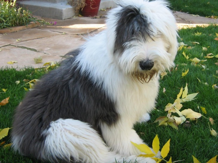 1600x1200 Old English Sheepdog Lovely Wallpapers,Old English Sheepdog Wallpapers ...
