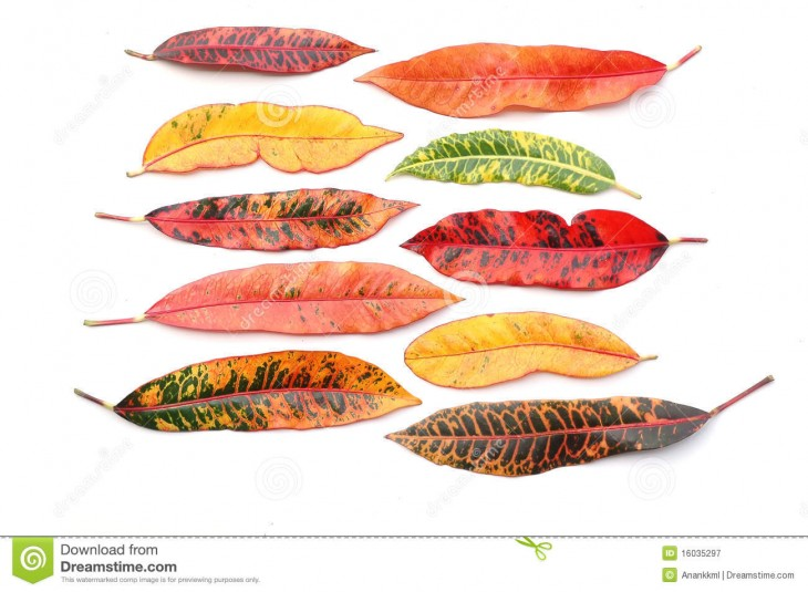 1300x954 Croton Leaves Royalty Free Stock Photography - Image: 16035297