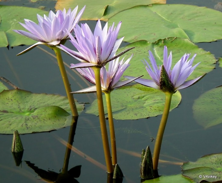 1024x842 Blue Lily Flowers Nymphaeaceae – Photographs | Wallpaper Tadka