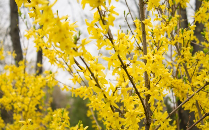2880x1800 Blossoming Forsythia branches Wallpaper #11150