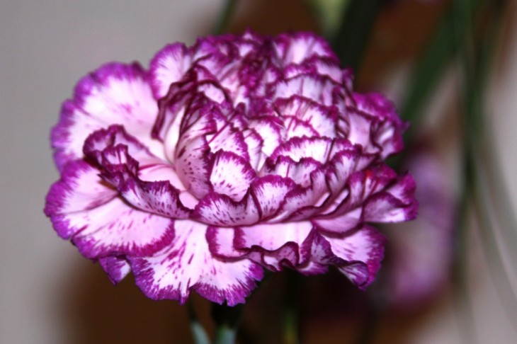 1200x800 Carnation Flower Wallpaper | Latest Hd Wallpapers
